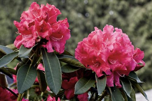 Afbeelding van roze bloemen met gewijzigde kleurverzadiging